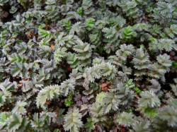 ACAENA 'Blue Haze'