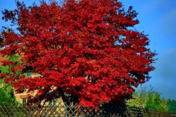 ACER rubrum 'Red Sunset'