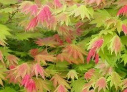 ACER shirasawanum 'Moonrise'®