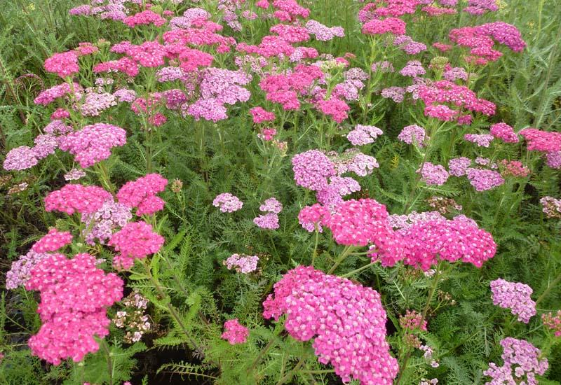 ACHILLEA millefolium 'Saucy Seduction'®