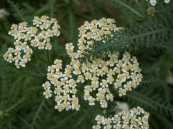 ACHILLEA millefolium 'White Beauty'