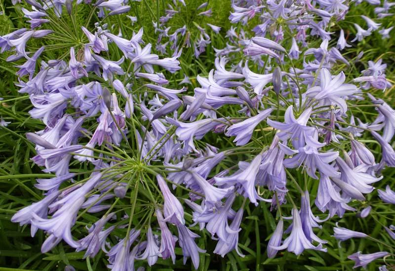 Agapanthus 39 castle of mey 39 plantes vivaces for Prix plantes vivaces