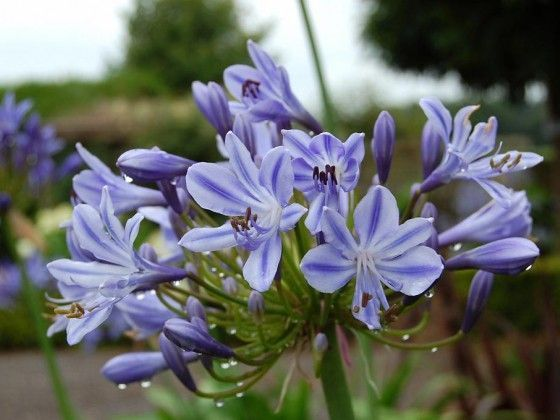 AGAPANTHUS 'Stars and stripes'