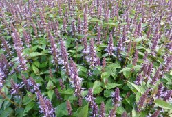 AGASTACHE 'After Eight'®