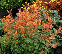 AGASTACHE 'Summer Sunset'®