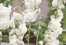 ALCEA rosea 'Chater's Double blanche'