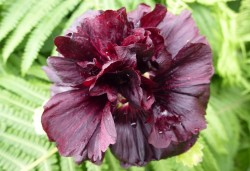 ALCEA rosea 'Chater's Double violet'