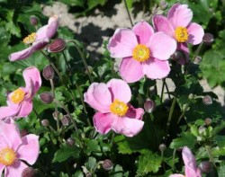 ANEMONE hybrida 'Little Princess'®