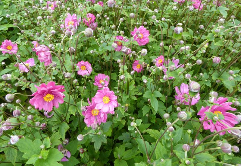 Anemone 39 margarethe 39 plantes vivaces for Prix plantes vivaces