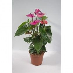 ANTHURIUM andreanum 'Pink Champion'