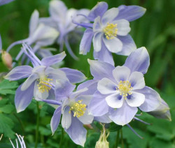 AQUILEGIA 'Heavenly Blue'