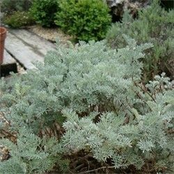 ARTEMISIA arborescens 'Little Mice'