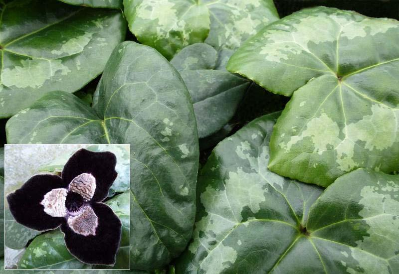 ASARUM maximum 'Giant'