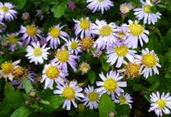 ASTER ageratoides 'Asmoe'
