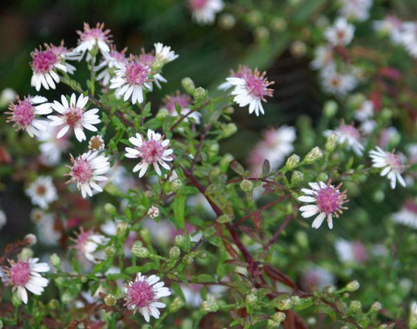 ASTER lateriflorus 'Lady in Black'