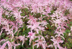 ASTILBE arendsii 'Color Flash'®