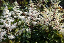 ASTILBE arendsii 'Rock and Roll'®