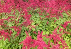 ASTILBE arendsii 'Spinell'