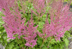 ASTILBE chinensis 'Vision in Pink'®