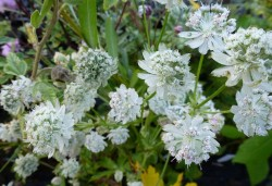 ASTRANTIA major 'Madeleine van Bennekom'