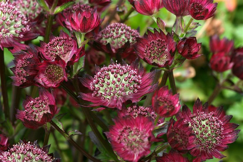 ASTRANTIA major 'Moulin Rouge'®