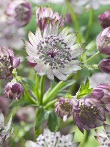 ASTRANTIA major 'Orion'