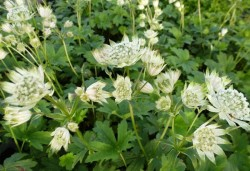 ASTRANTIA major 'Princess Sturdza'®