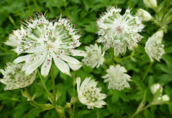 ASTRANTIA major 'Snow Star' ®