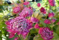 ASTRANTIA major 'Star of Treasure'®