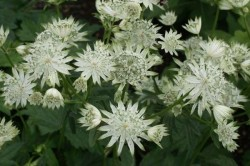 ASTRANTIA major 'Super Star'®