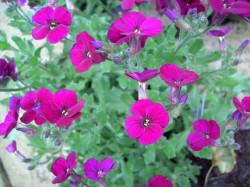 AUBRIETE 'Bressingham Red'
