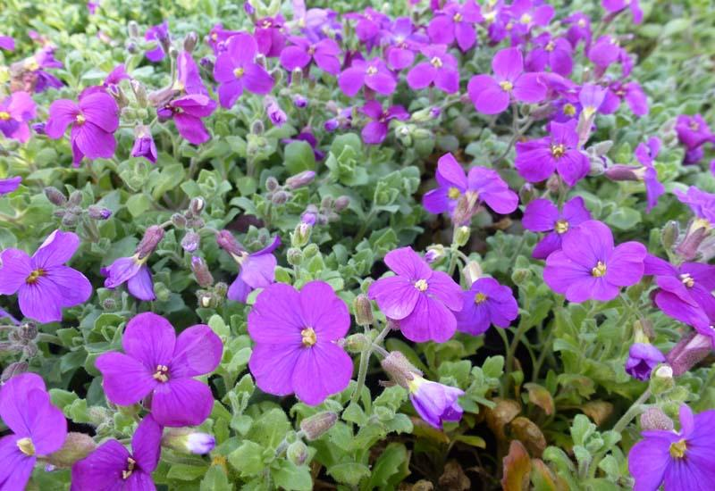 Aubriete 39 cascade purple 39 plantes vivaces for Prix plantes vivaces
