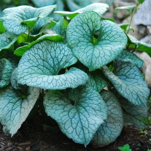 BRUNNERA macrophylla 'Alexander's Great'®