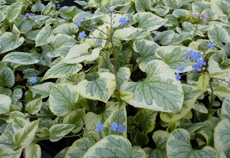 BRUNNERA macrophylla 'Kings Ransom'®