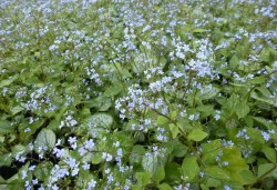 BRUNNERA macrophylla 'Little Jack'