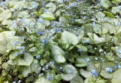 BRUNNERA macrophylla 'Looking Glass'®