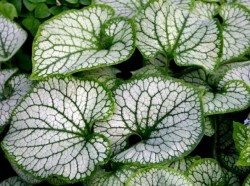 BRUNNERA macrophylla 'Sea Heart' ®