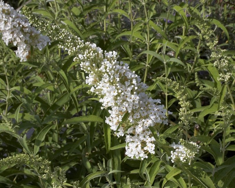 BUDDLEJA davidii 'Marbled White'®