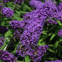 BUDDLEJA davidii 'Purple Emperor'®