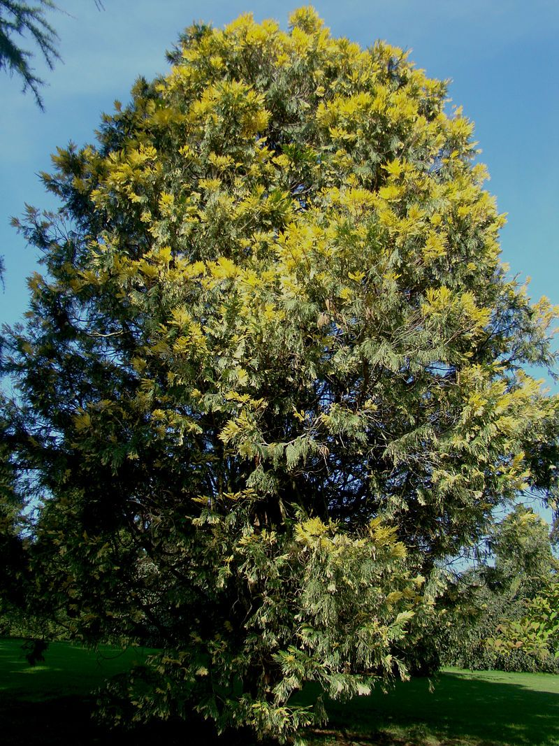 CALOCEDRUS decurrens 'Aureovariegata'