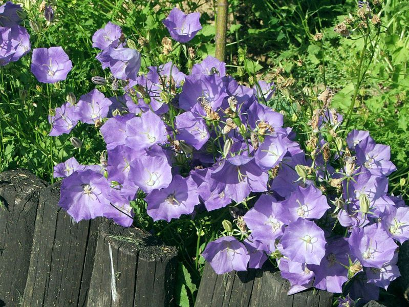 CAMPANULA carpatica 'Blue Clips'