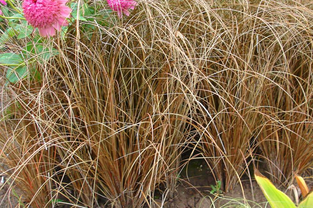 CAREX comans 'Milk Chocolate'