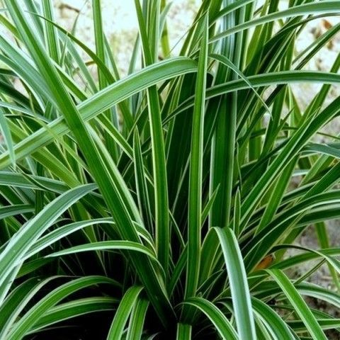 CAREX morrowii 'Aureovariégata'
