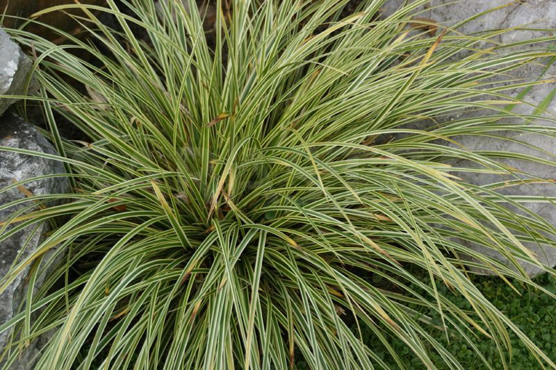 CAREX morrowii 'Gilt'