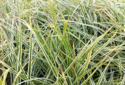 CAREX oshimensis 'Evereste'