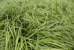 CAREX oshimensis 'Ice Cream'®