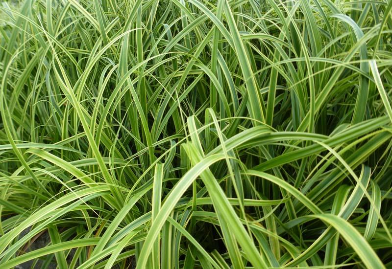 CAREX trifida 'Rekohu Sunrise' ®