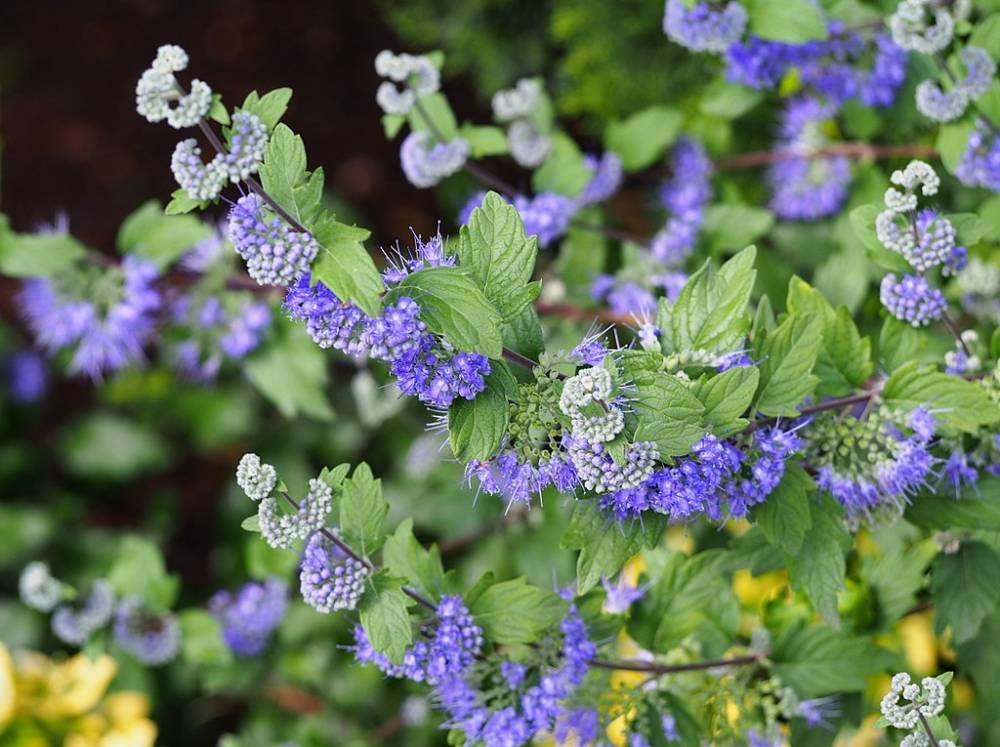 CARYOPTERIS clandonensis 'Heavenly Blue'