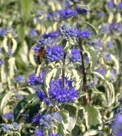 CARYOPTERIS clandonensis 'White Surprise'®