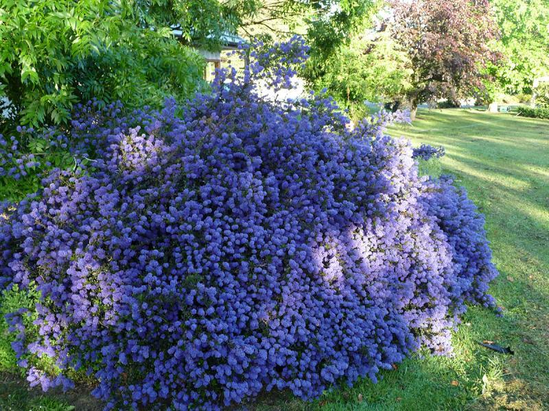 ceanothus 39 blue mound 39 plantes ext rieures. Black Bedroom Furniture Sets. Home Design Ideas